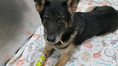 VCSO K-9's Recover After Being Shot