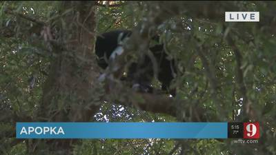 Young bear hides in tree for days after being scared by tigers at Apopka animal sanctuary