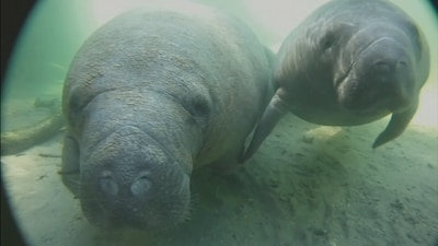 Wildlife officials brainstorming how to prevent record-number manatee deaths
