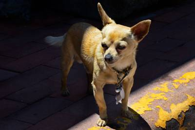 Stowaway: Texas couple finds pet Chihuahua hiding inside luggage at airport